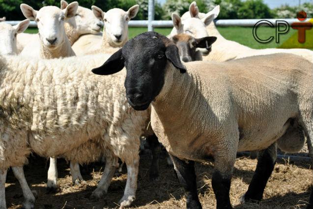 Reprodução de ovelhas: quando iniciar essa atividade?   Artigos Cursos CPT
