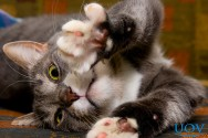 Raças de gatos mais comuns no Brasil