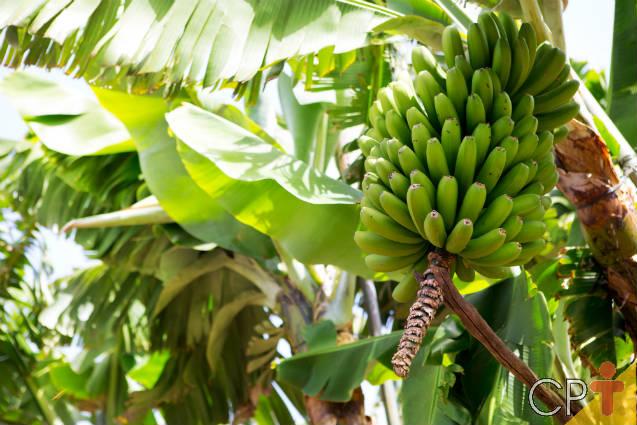 Tutorial prático para plantar banana