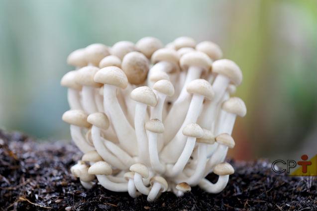 Quais cogumelos comestíveis cultivar e vender? Shimeji e Hiratake!   Artigos Cursos CPT