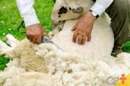 Como fazer tosquia profissional em ovelhas