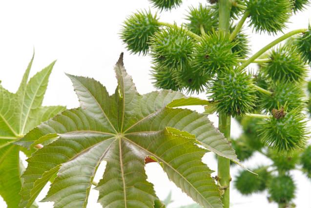 Orientações para plantar mamona