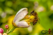 Uruçu: abelha mansa de tamanho avantajado e boa produtora de mel!