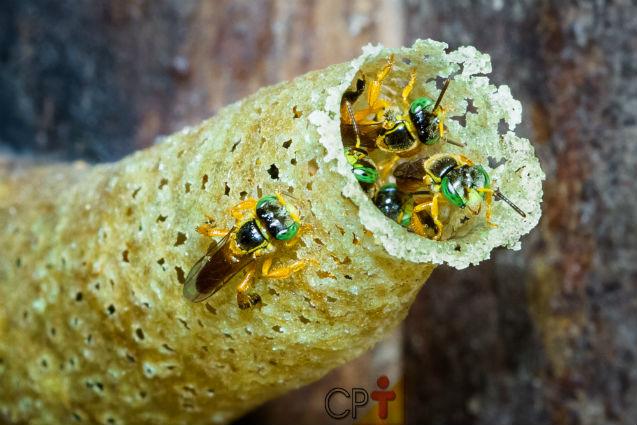Qual abelha sem ferrão criar? Escolha a Jataí!   Artigos Cursos CPT
