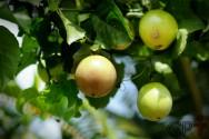 Uma fruta para plantar no quintal? M.A.R.A.C.U.J.Á!
