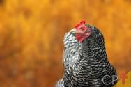 Alimentos alternativos para frangos e galinhas caipiras