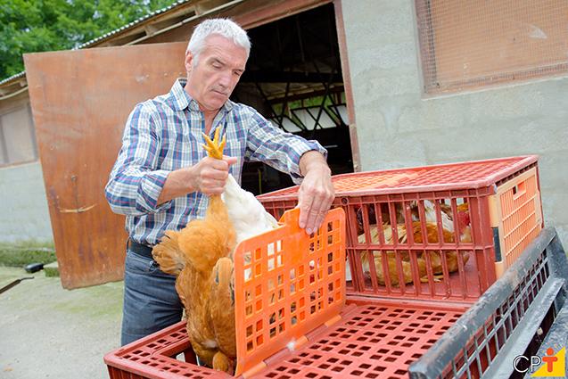 Criação de galinhas caipiras