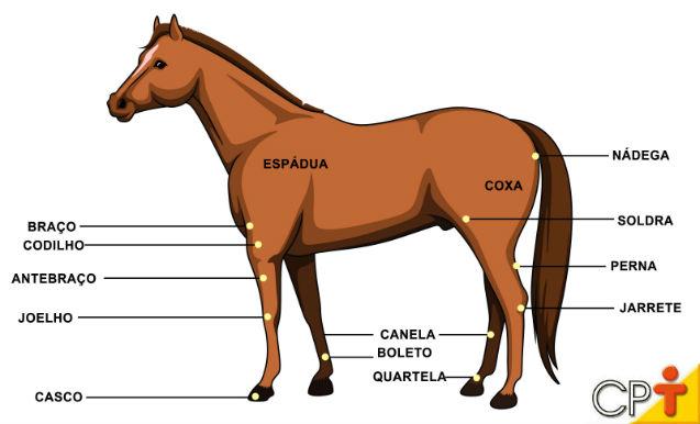 Estruturas que compõem os membros de um equino   Artigos Cursos CPT