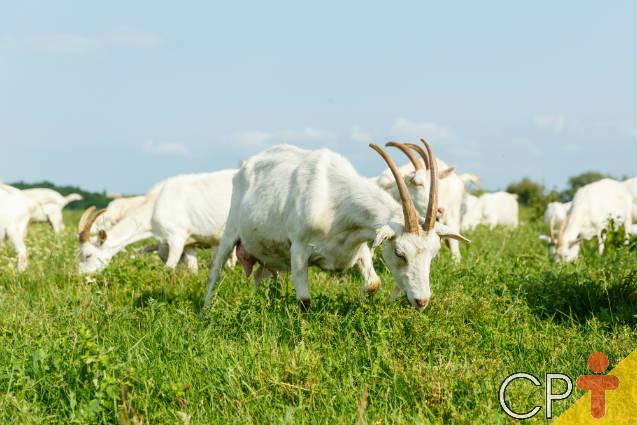 5 dicas de alimentação para cabras