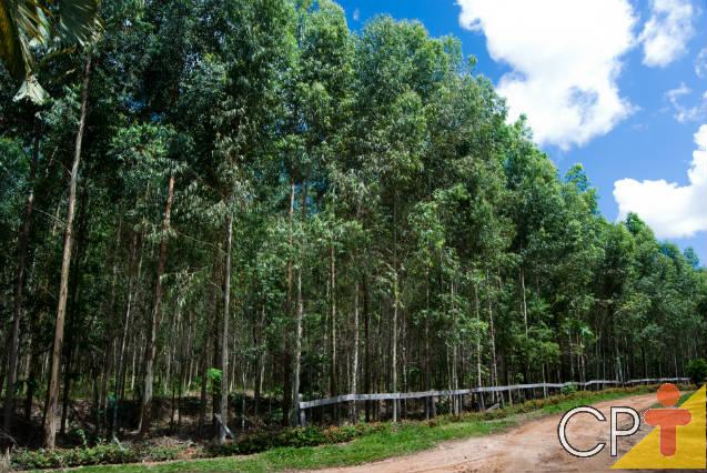 Veja a melhor forma de plantar eucalipto