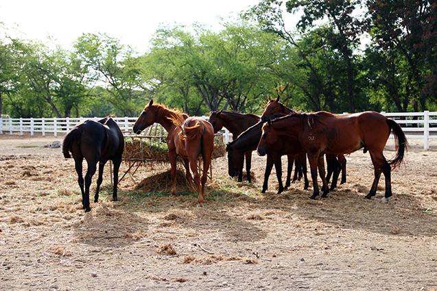 Cavalos comendo - imagem meramente ilustrativa