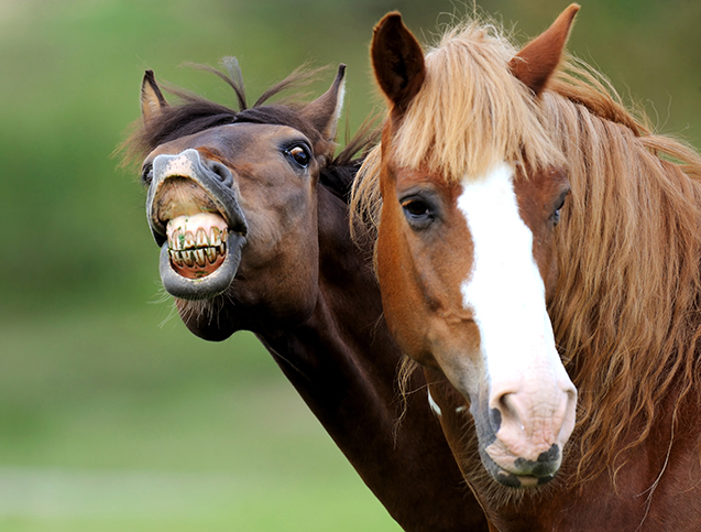 Cavalo mostrando os dentes