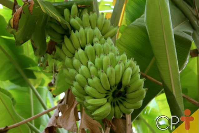 Quais as pragas da bananeira mais comuns?