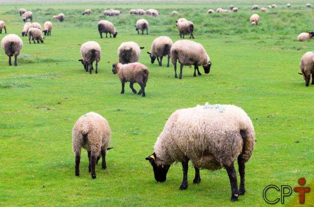 Vai criar ovinos de corte em pasto? Atenção especial às forrageiras!   Artigos Cursos CPT