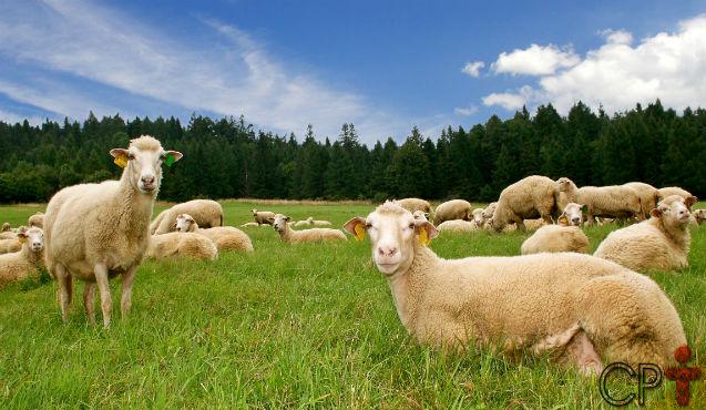 Por que devo me preocupar com a nutrição das ovelhas?   Dicas Cursos CPT