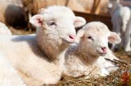 Criação de ovinos: como desmamar cordeiros?