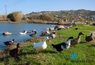 Saiba a diferença entre pato, ganso, marreco e cisne