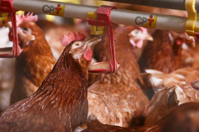Vou criar galinhas caipiras. Como devem ser os bebedouros?   Artigos Cursos CPT