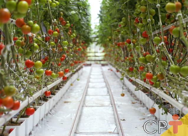 Orientações para cultivar tomate em estufa