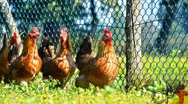 Fria ou quente: em qual temperatura criar galinhas caipiras?   Dicas Cursos CPT
