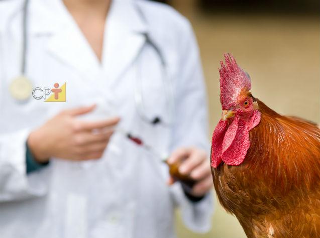 Galinhas caipiras: doenças causadas por bactérias   Artigos Cursos CPT