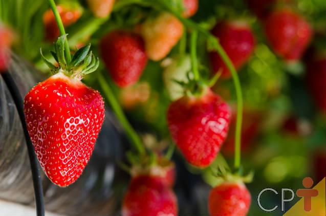 Cultivo de morango: colheita e pós-colheita