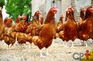 Rhode Island Red, você conhece essa galinha?