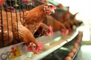 Quer que suas galinhas produzam mais? Alimente-as bem!