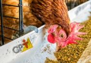 Quer ovos de gemas bem amarelas? Dê pigmentos às galinhas!