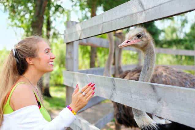 Você sabe como criar avestruz?