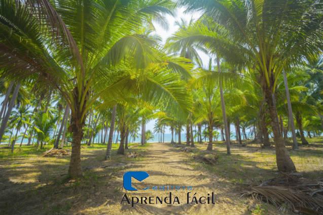 Vantagens da irrigação localizada do coqueiro anão