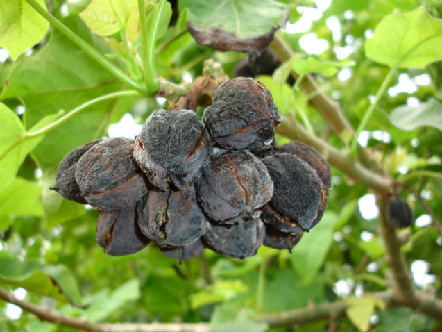 Cultivo de pinhão manso para produzir biodiesel