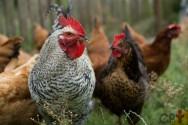 É correto alimentar galinhas caipiras com folhagens velhas?
