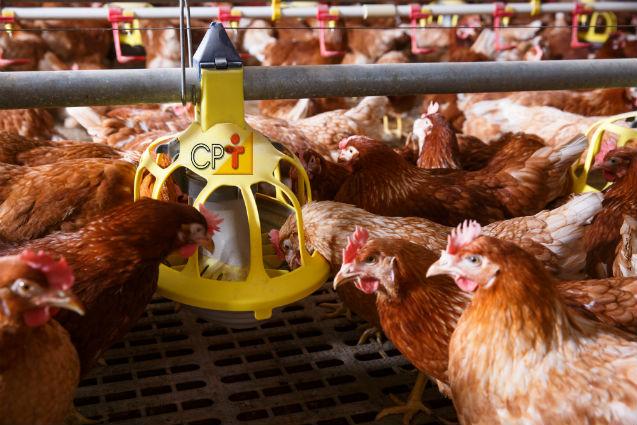 Qual tipo de comedouro usar na criação de frango caipira?   Dicas Cursos CPT