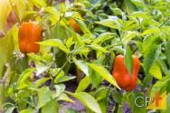 Dicas para cultivar pimentão orgânico