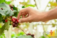 Quais os grãos de café mais produzidos no Brasil?