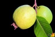 Cultivo de goiaba: confira alguns problemas que podem surgir