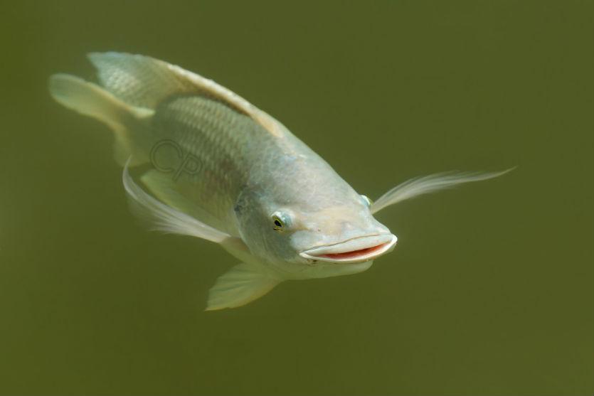 Criação de tilápia exige água em quantidade e a qualidade   Artigos Cursos CPT