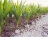 Produção de mudas saudáveis é primeiro passo para o sucesso da coconicultura