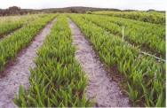 A produção de mudas de coqueiro de boa qualidade representa um dos principais fatores para se obter sucesso na produção de coco.