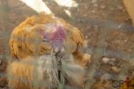 Cria frangos e galinhas caipiras? Conheça a doença de GUMBORO