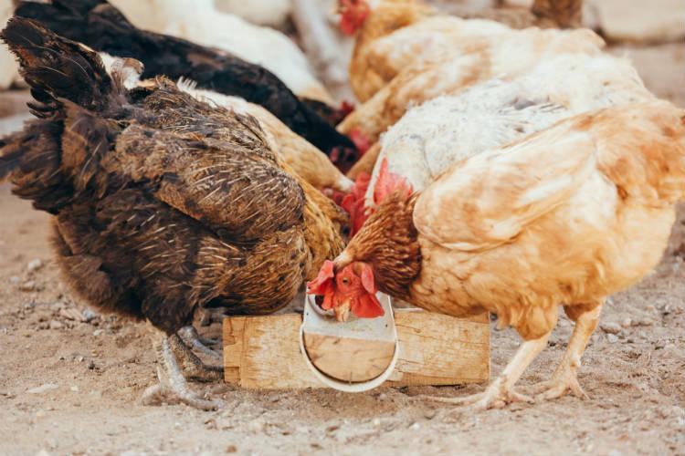 Aprenda a alimentar galinhas poedeiras