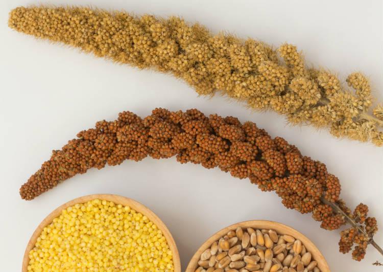 Cultivo caseiro de painço para alimentar curiós