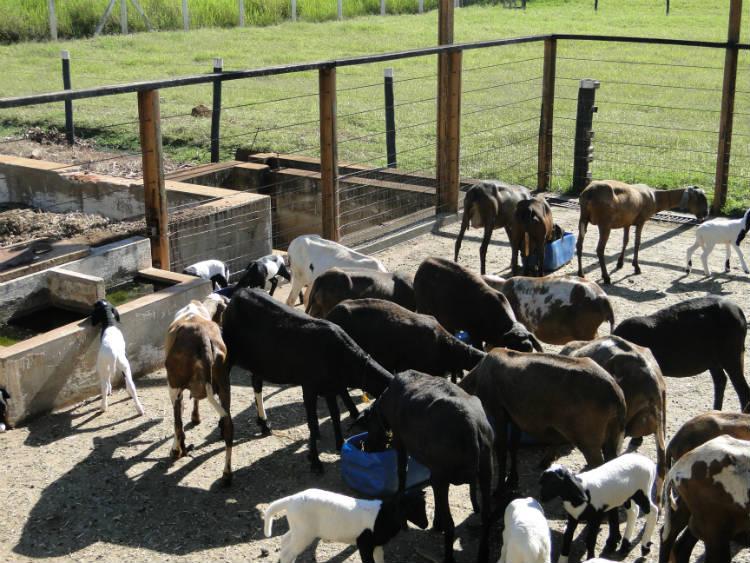 Confira as doenças mais comuns em ovinos