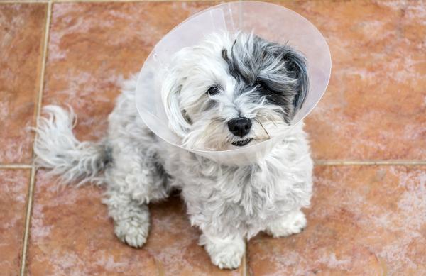 Cão recentemente castrado