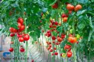 Por que fazer o tutoramento do tomateiro?