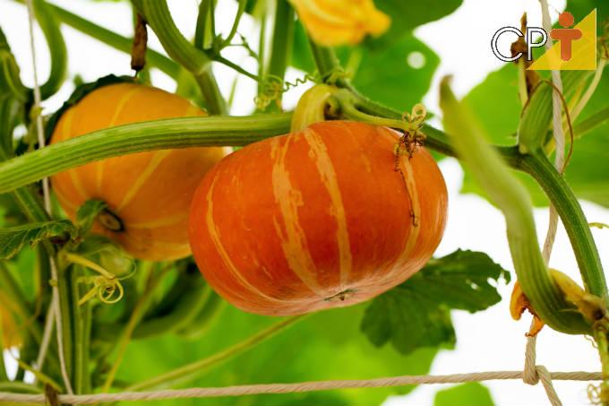 Dicas simples de cultivo de abóbora