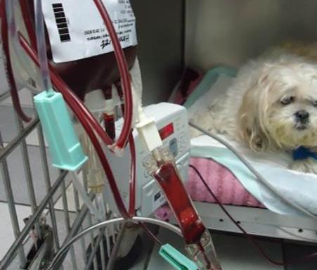 Cão recendo sangue