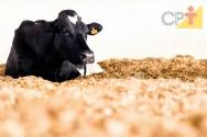 Compost barn em confinamento de vacas leiteiras