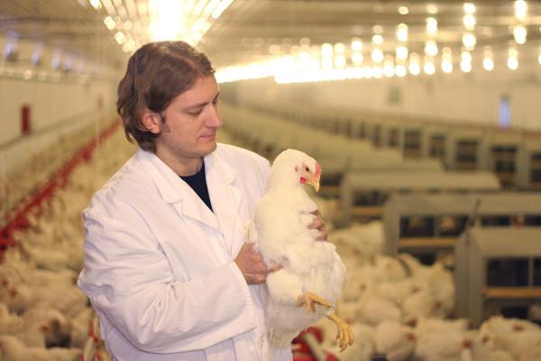 Veterinário examinando galinha